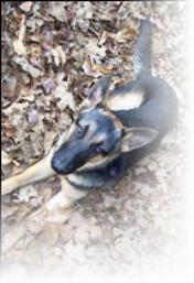 Smokey a neutered German Shepherd Puppy
